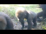 Сегодня в сафари Рамат-Ган: малыш горилла